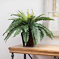 Boston Fern in Wicker Planter, 2 ft.