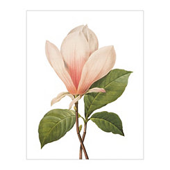 Redoute Magnolia Soulangiana Canvas Art Print