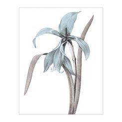 Redoute Amaryllis Jacques Blue Canvas Art Print