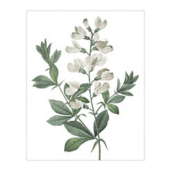 Redoute Podalyria Australis Green Canvas Art Print