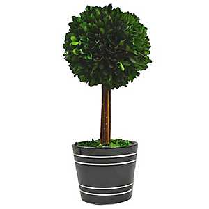 Round Boxwood Topiary in Black Planter, 14 in.