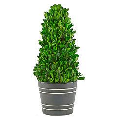 Boxwood Cone Topiary in Black Planter, 13.4 in.