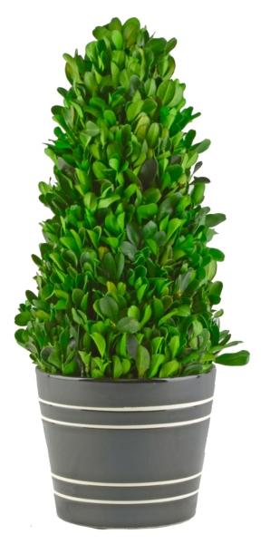 boxwood cone topiary in black planter 134 in