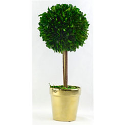 Round Boxwood Topiary in Gold Planter, 14 in.