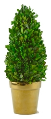Boxwood Cone Topiary in Gold Planter, 13.5 in.