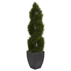 Cyprus Spiral Topiary in Black Planter, 5 ft.