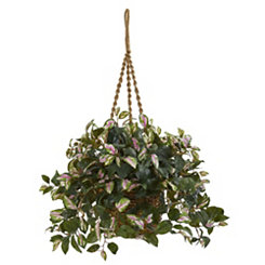 Hoya Plant in Hanging Basket