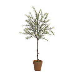 Rosemary Topiary in Orange Pot, 30 in.