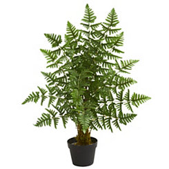Ruffle Fern Palm Tree, 3 ft.