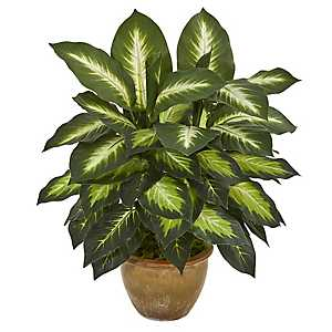 Dieffenbachia in Glazed Ceramic Planter