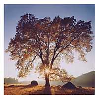 Black Oak Sunset Canvas Art Print