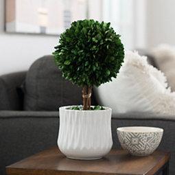 Preserved Boxwood Arrangement in White Pot