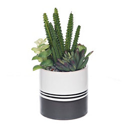 Succulent Arrangement in Black Striped Pot