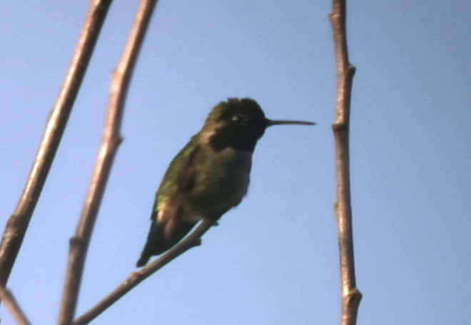 Humming Bird (approx 90 ft distance)