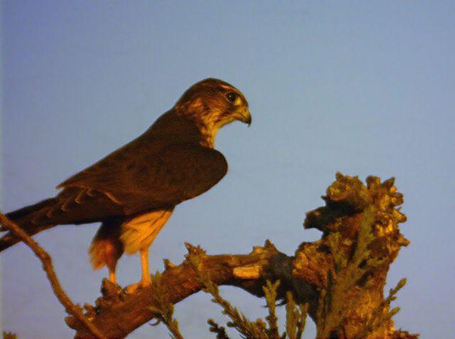 Bird of Prey (approx 500 ft distance)