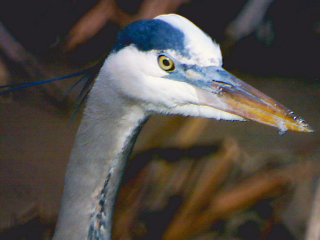 Heron (Terrestrial Wildlife)
