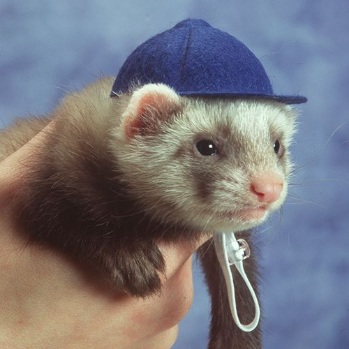 Marshall Ferret Baseball Cap