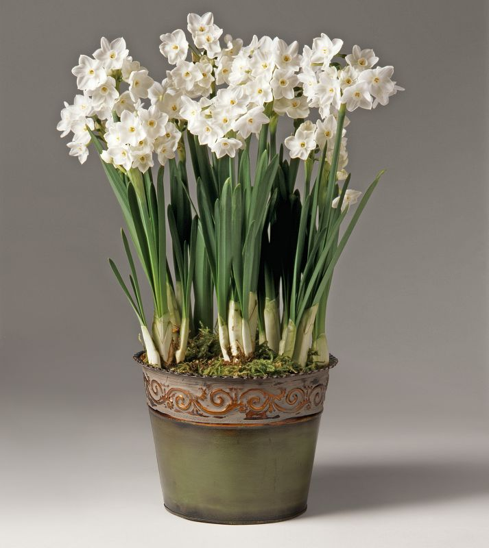 Paperwhites in Green Tin Pre-Potted Bulb Garden