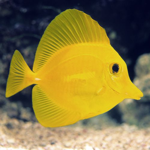 Yellow Tang Large Fish