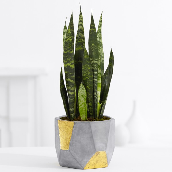 Snake Plant– Tabletop Plant