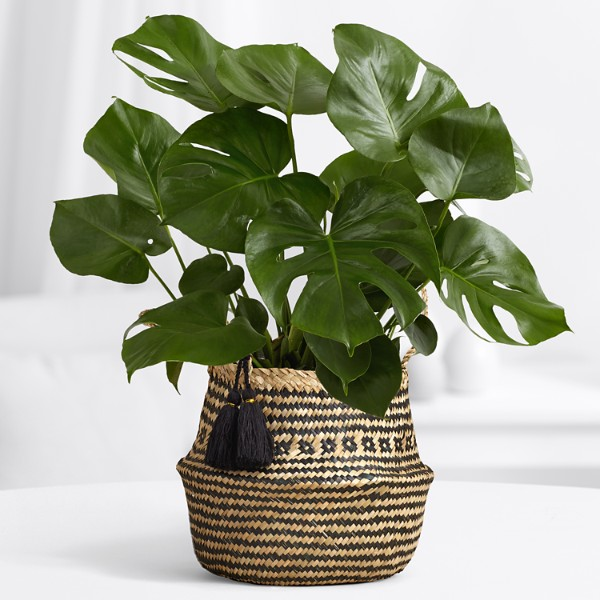 Split-Leaf Philodendron - Floor Plant