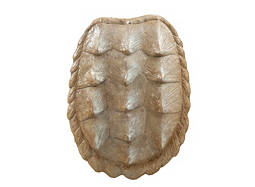 Shell I Wall Decor