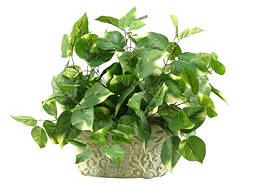 Pothos Ivy in Ceramic Pot