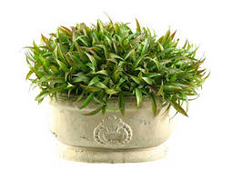 Wild Grass in Ceramic Pot