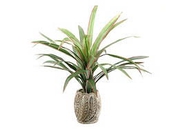 Dracaena in Ceramic Pot