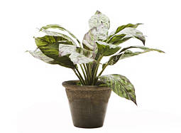 Aglaonema in Brown Pot