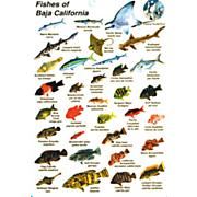 Fishes Of Baja