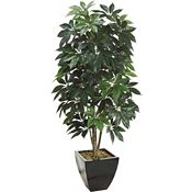 Schefflera Tree in Container