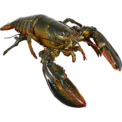 Live Lobsters 1.5 - 1.75 lb