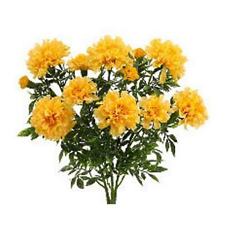 Texas Marigold, EACH