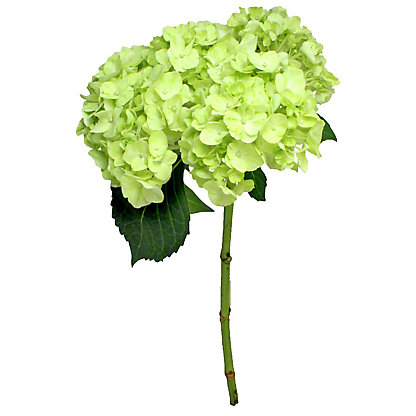 Lime Green Hydrangea, ea