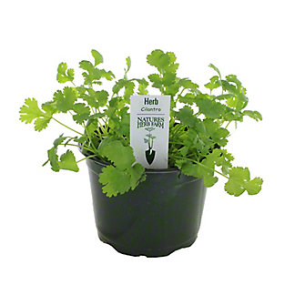 H-E-B Texas Backard Cilantro 6 Inch,EACH
