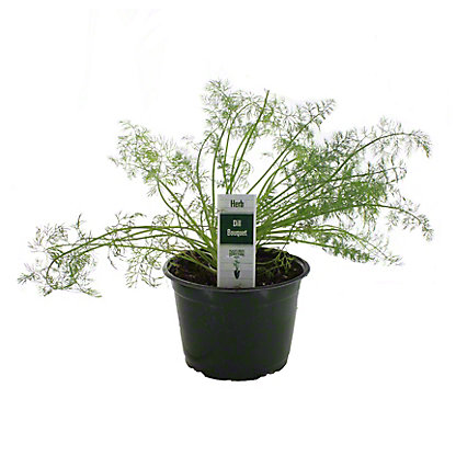 Natures Herbs Dill Bouquet, 6 in