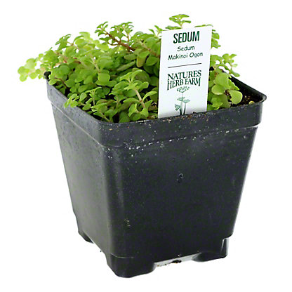 Nature's Herbs Succulent, 4 In.