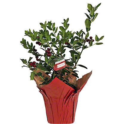 Holly Plant, 6 in
