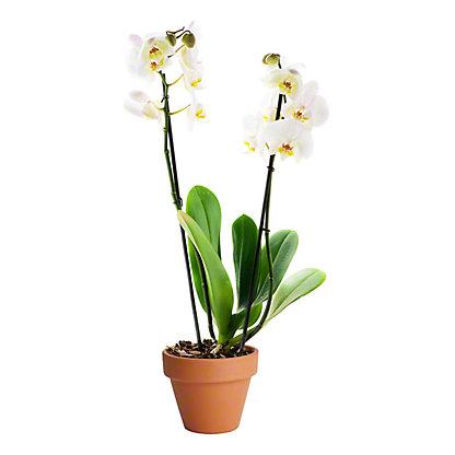 Phalaenopsis Orchid, ea