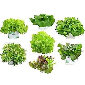 Lover's Lane Store Grown Lettuce