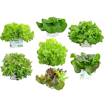 STORE GROWN LETTUCE