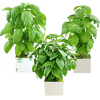 Lovers Lane Store Grown Basil