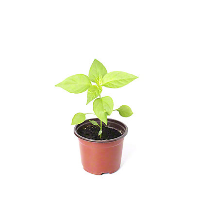 Sweet Chocolate Pepper Plant, 8 Inch