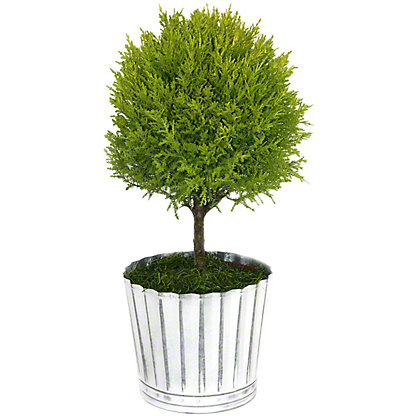 Central Market Lemon Cypress Topiary, 6.5 in