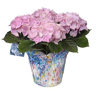 6' Pink Hydrangea, ea