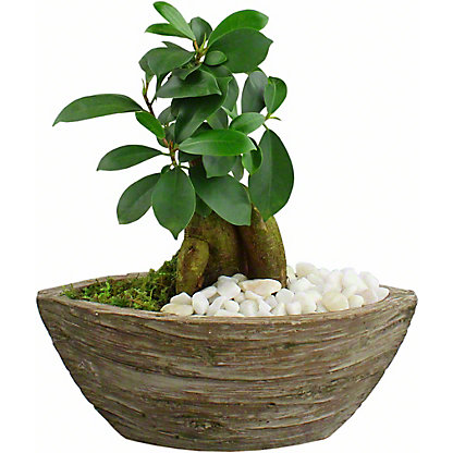 Aged Wood - Bonsai, ea