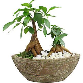 Aged Wood - Bonsai, ea