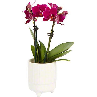 Bellini X Deco Phalaenopsis Orchid, ea