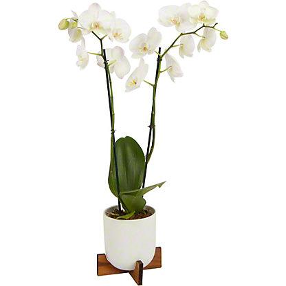Bonita X Pedestal Phalaenopsis Orchid, ea